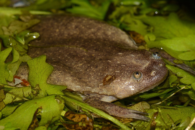 clawed frog 1
