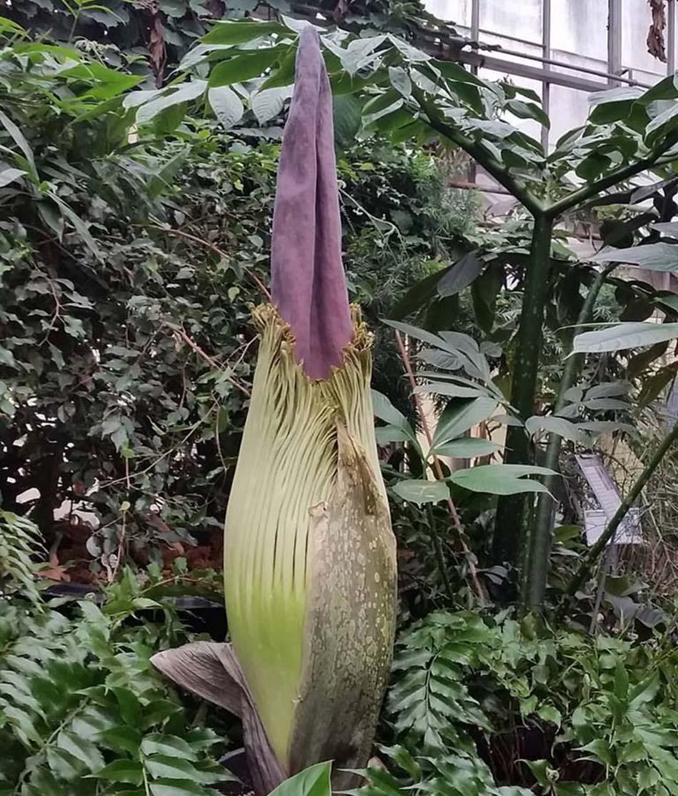 corpse plant 1