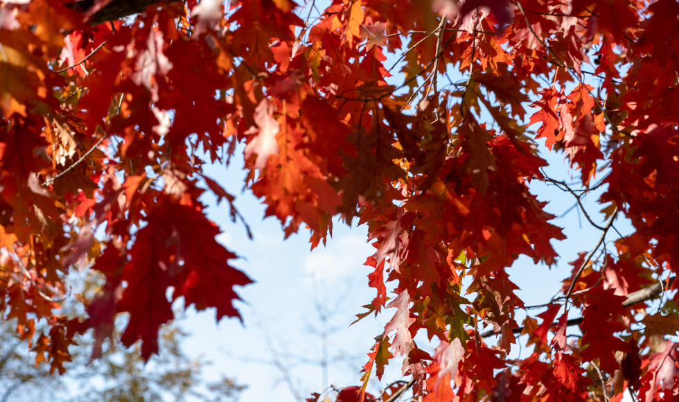 A close up of red fall leaves in the sunshine