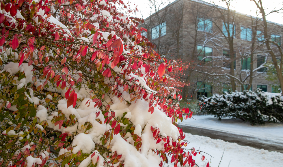 A tree with red leaves with snow on it